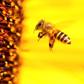 Пчелы научились строить гнезда измусора